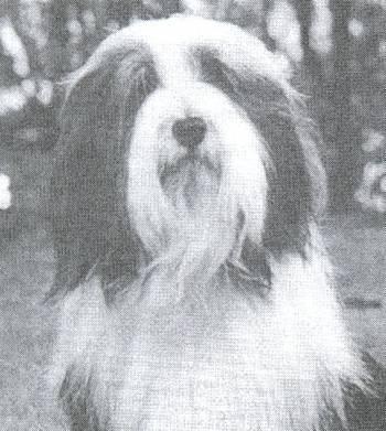 hvide og brunde hunde
